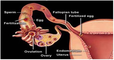 Female-Fertilization-system